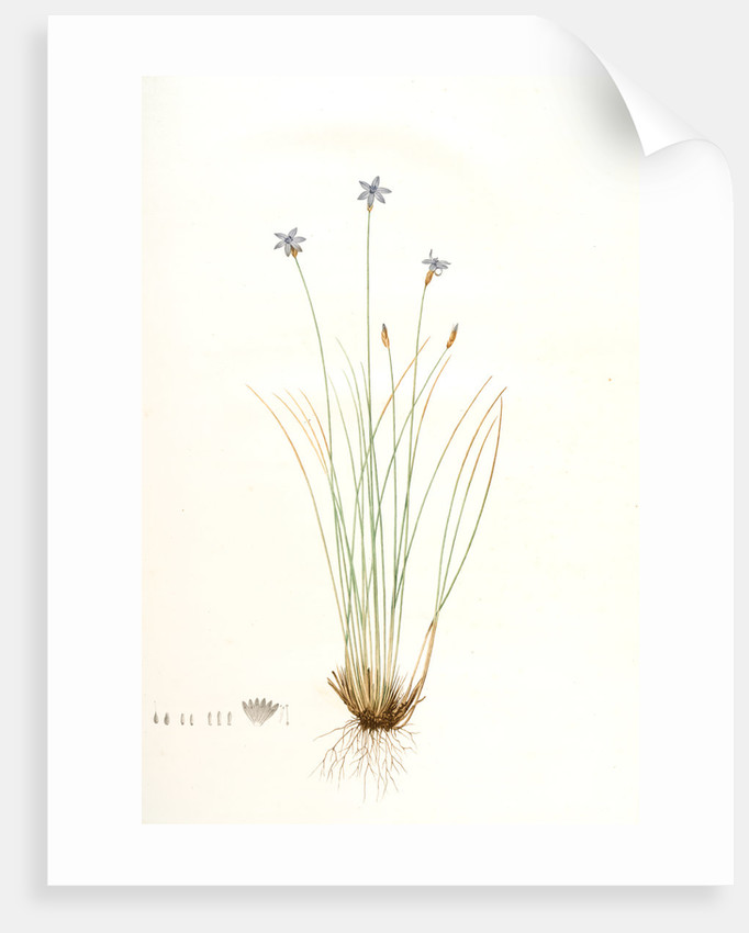 Aphyllanthes monspeliensis, Aphylanthe de Montpellier, Blue Grass Lily by Pierre Joseph Redouté