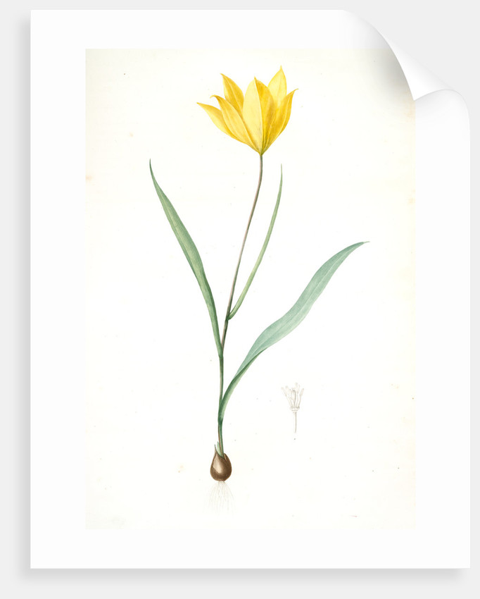 Tulipa sylvestris, Tulipa sauvage, Wild tulip; Woodland tulip by Pierre Joseph Redouté
