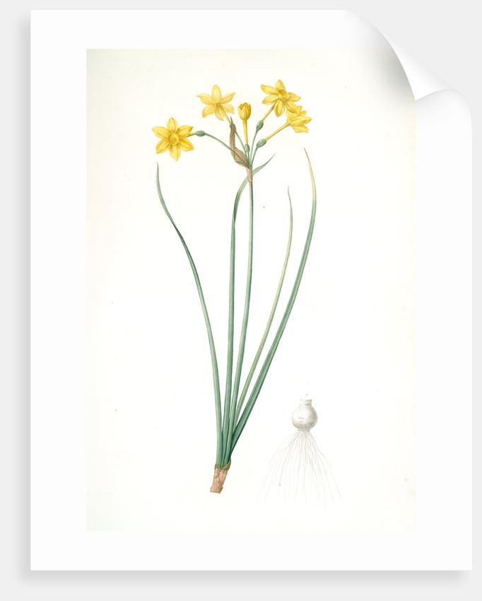 Narcissus jonquilla, Narcissus Jonquilla; Narcisse jonquille; Jonquil by Pierre Joseph Redouté