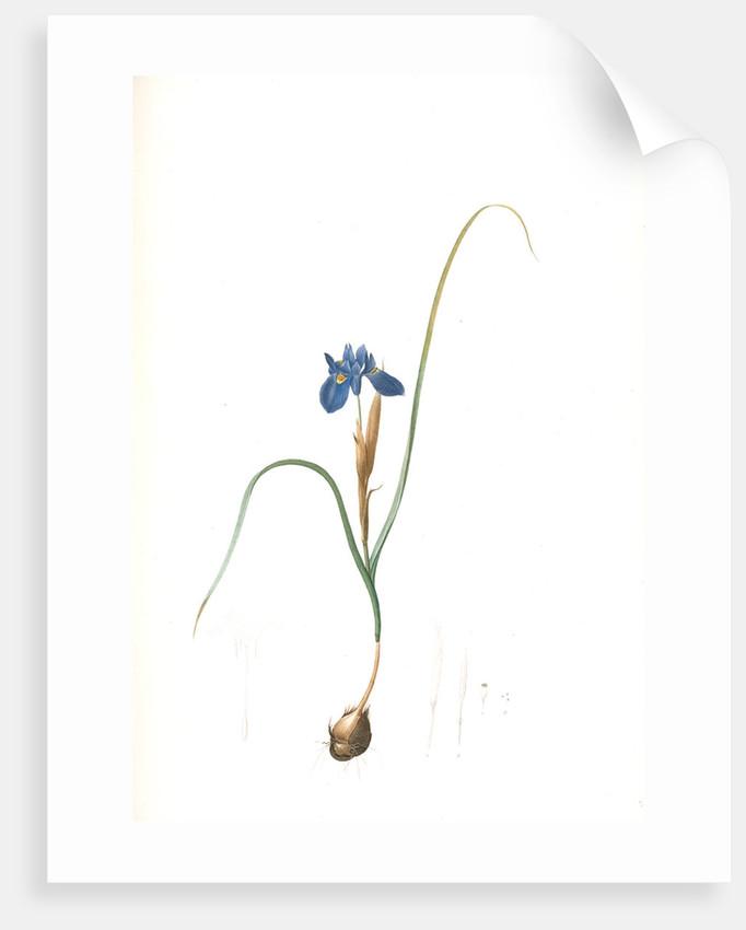 Iris Sisyrinchium, Iris double-bulbe by Pierre Joseph Redouté