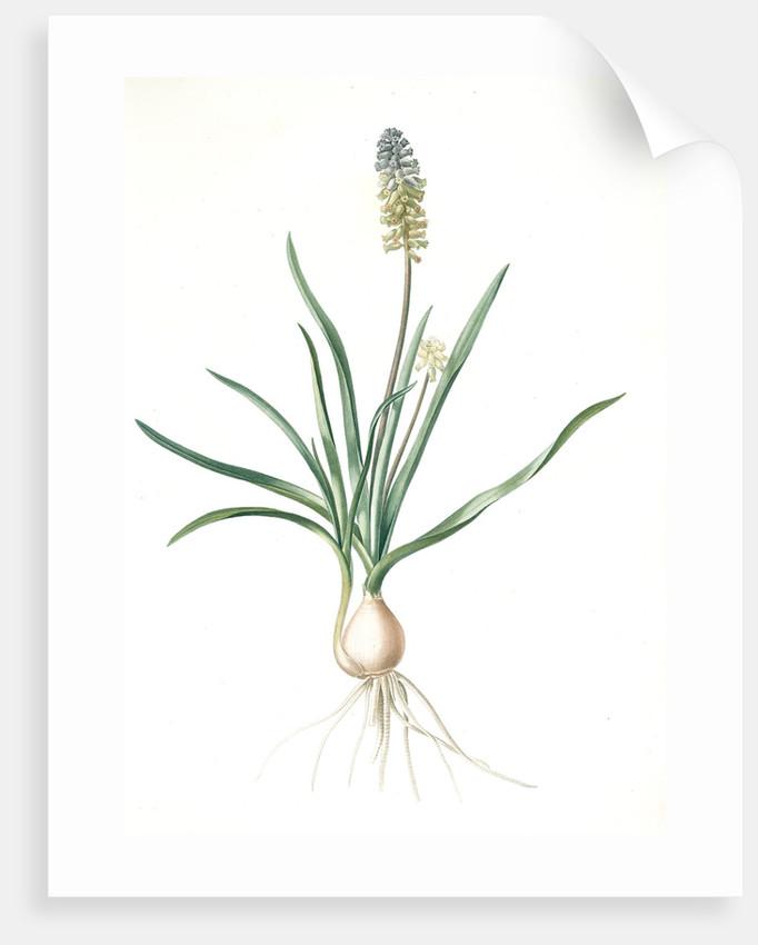 Muscari ambrosiacum, Muscari moschatum; Muscari odorant; Musk or Nutmeg Hyacinth; Grape Hyacinth by Pierre Joseph Redouté