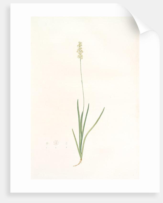 Tofieldia pubescens, Tofieldia pubens; Tofieldie pubescente, Short-haired Tofieldia by Pierre Joseph Redouté