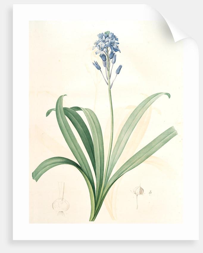 Scilla campanulata, Scille à fleurs en cloche, Bluebell by Pierre Joseph Redouté