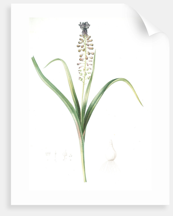 Muscari comosum, Muscari a toupet, Tassel grapehyacinth; Tassel hyacinth by Pierre Joseph Redouté