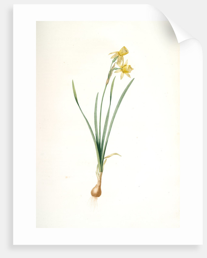 Narcissus calathinus, Narcissus triandrus; Narcisse à grande coupe, angel's tears; daffodil by Pierre Joseph Redouté