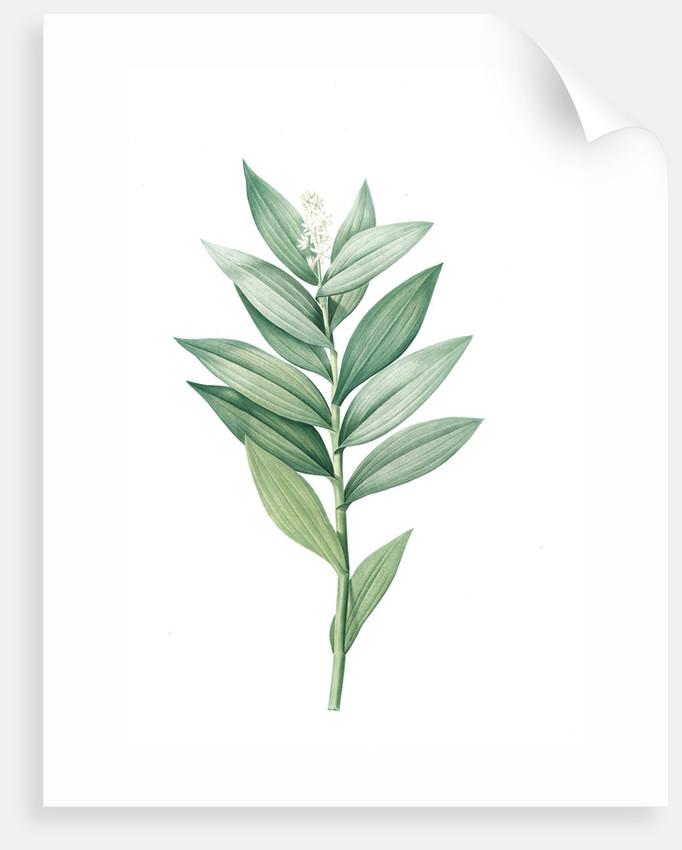 Smilacina stellata, Smilacine ètoilèe Star-flowered Solomon's Seal; Lily of the Valley; Solomon's Feathers, Solomon's Plume by Pierre Joseph Redouté