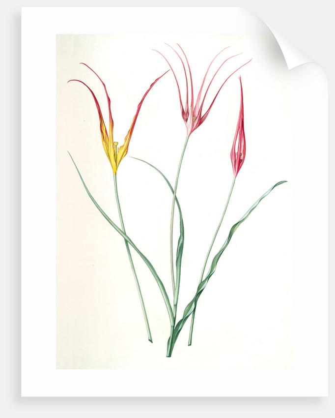 Tulipa cornuta, Tulipa acuminata; Tulipe à fleurs pointues; Turkish Tulip by Pierre Joseph Redouté