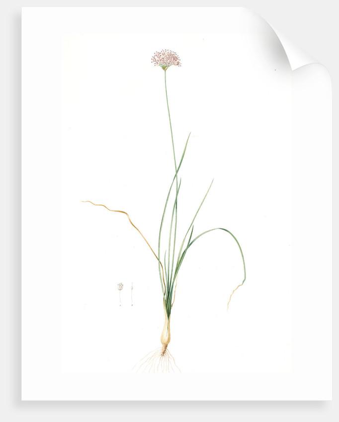 Allium lusitanicum, Allium angulosum; Ail de Portugal, Garlic of the mountains, Garlic of Lusitanie by Pierre Joseph Redouté