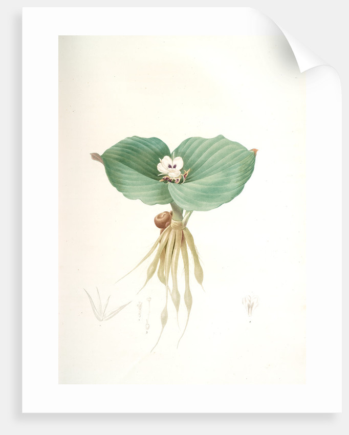 Kaempferia galanga, Kempférie galanga by Pierre Joseph Redouté