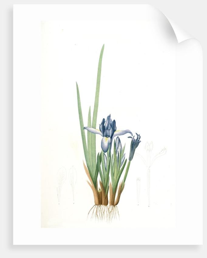 Iris triflora, Iris ensata; Iris à trois fleurs, Japanese Iris by Pierre Joseph Redouté