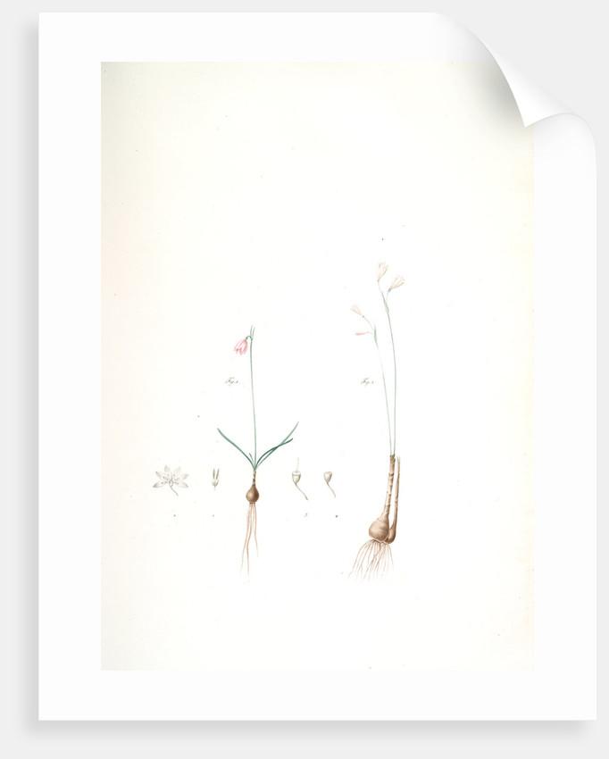 Leucoïum trichophyllum, Leucoium autumnale; Nivéole d'automne {autumn snowflake by Pierre Joseph Redouté