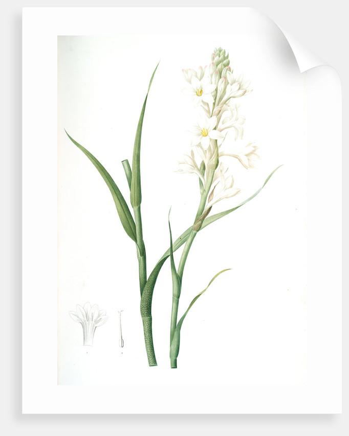 Polianthes tuberosa, Polianthe tubérose; Tuberose by Pierre Joseph Redouté