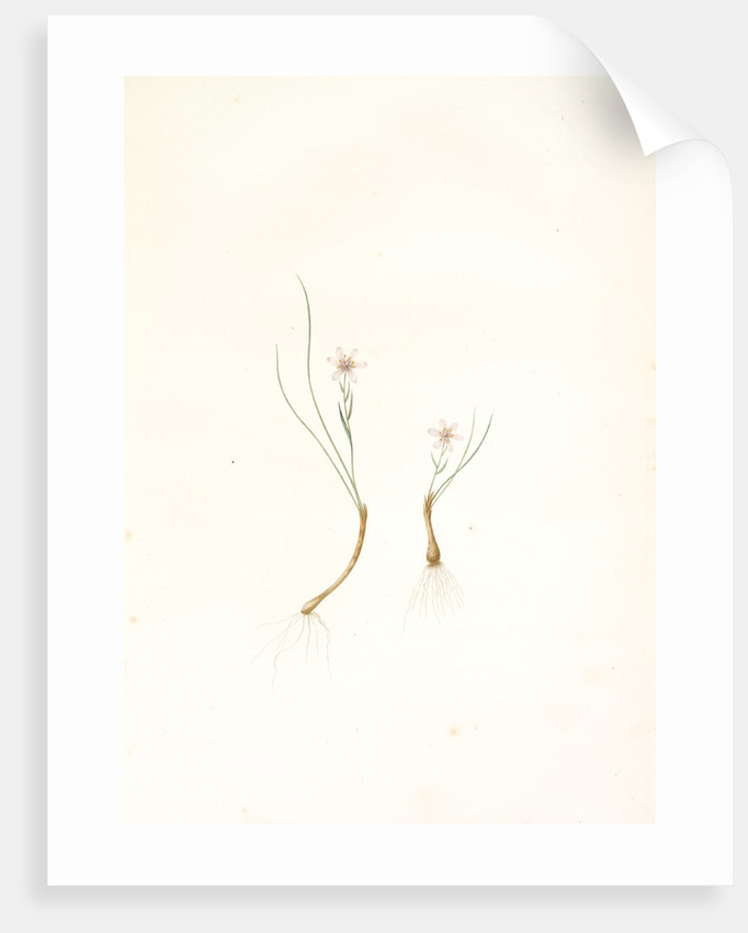 Phalangium serotinum, Lloydia serotina; Phalangère tardive Alp Lily by Pierre Joseph Redouté