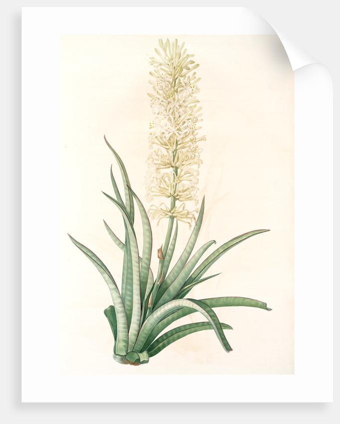 Sansevieria zeylanica, Sanseviera de Ceylan; Devil's Tongue, Ceylon Bowstring hemp by Pierre Joseph Redouté