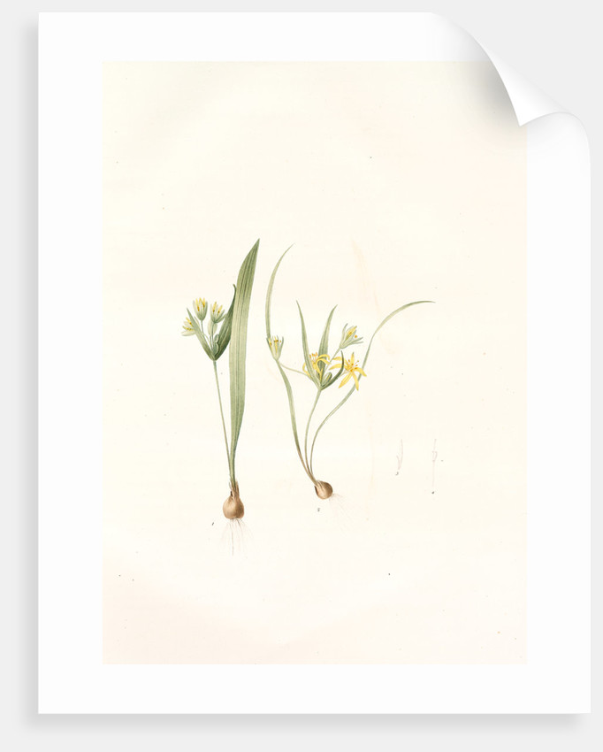 Ornithogalum luteum-O. minimum, Gagea sp; Ornithogale jaune; Ornithogale nain by Pierre Joseph Redouté