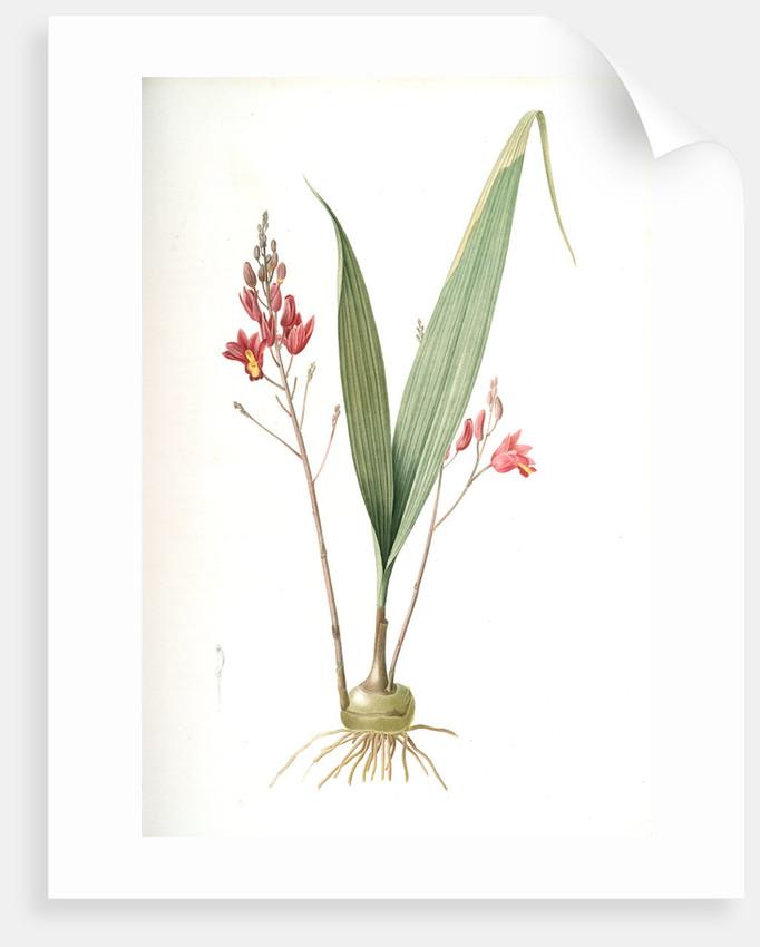 Limodorum purpureum, Bletia verecunda; Limodore pourpre, Pine pink by Pierre Joseph Redouté