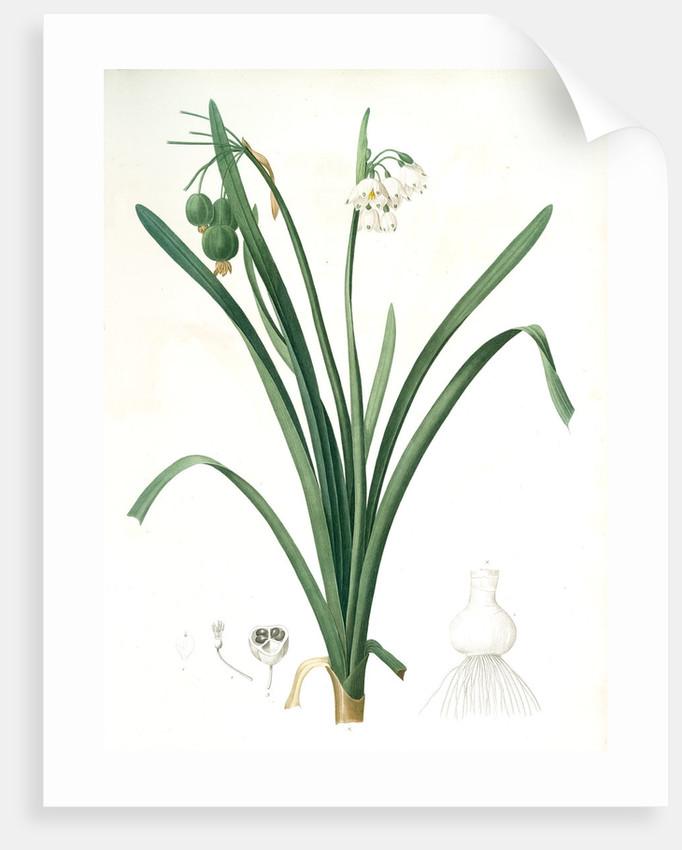 Leucoium aestivum, Leucojum aestivum; Nivéole d'été; Summer Snowflake by Pierre Joseph Redouté