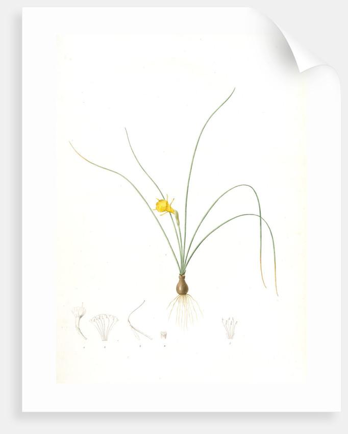 Narcissus tenuifolius, Narcissus à feuilles menues by Pierre Joseph Redouté