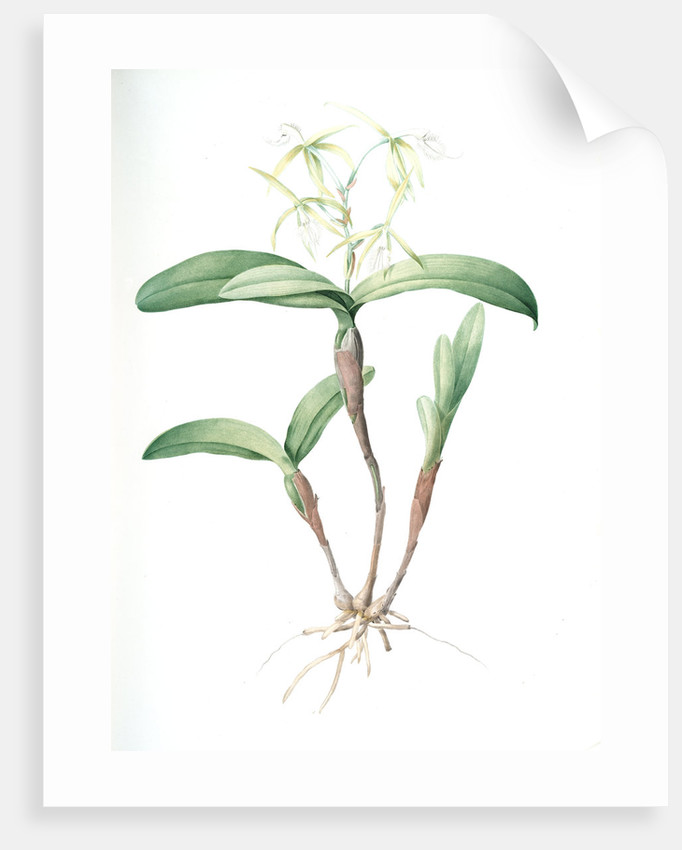 Epidendrum ciliare, Epindenre á longs ciils, Spider orchid; Fringed star orchid by Pierre Joseph Redouté