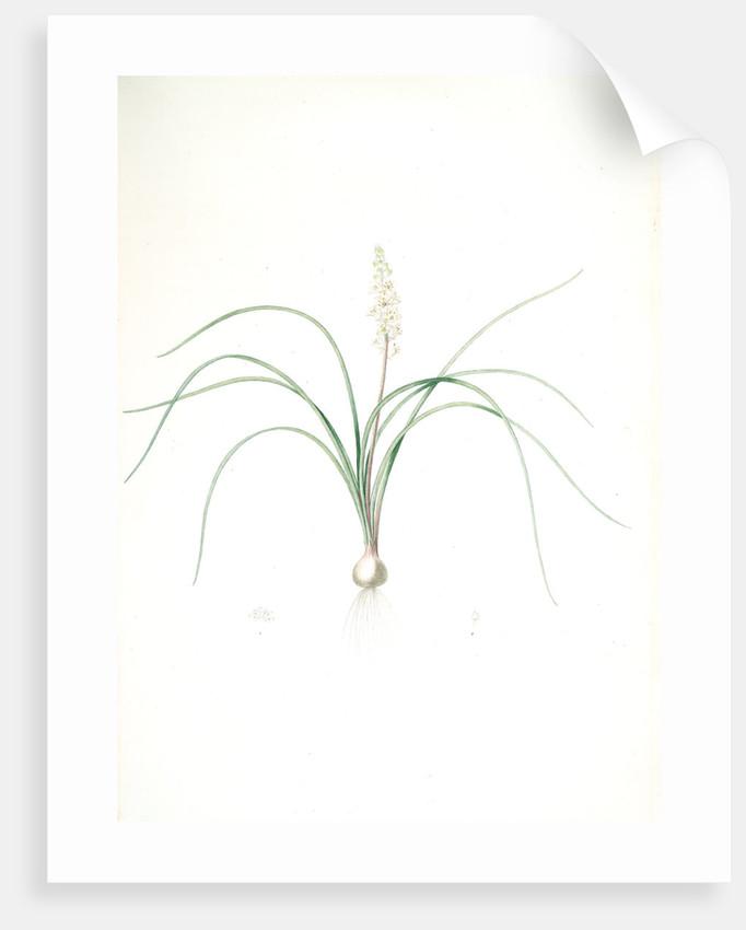 Lachenalia angustifolia, Lachenale à feuilles étroites; Cape Cowslip by Pierre Joseph Redouté