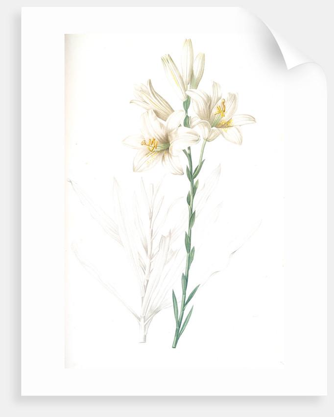 Lilium candidum, Lis blanc; Maddona lily by Pierre Joseph Redouté