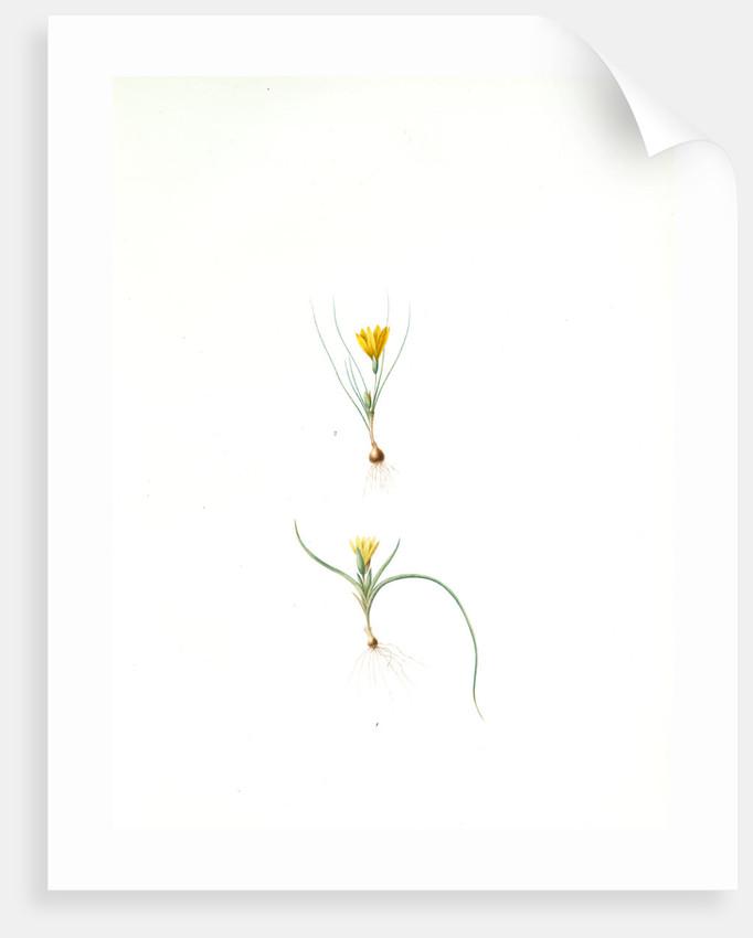 Ixia recurva; Ixia filifolia, Romulea sp; Ixia à feuilles recourbèes by Pierre Joseph Redouté