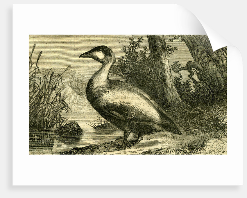 Duck 19th Century by Anonymous