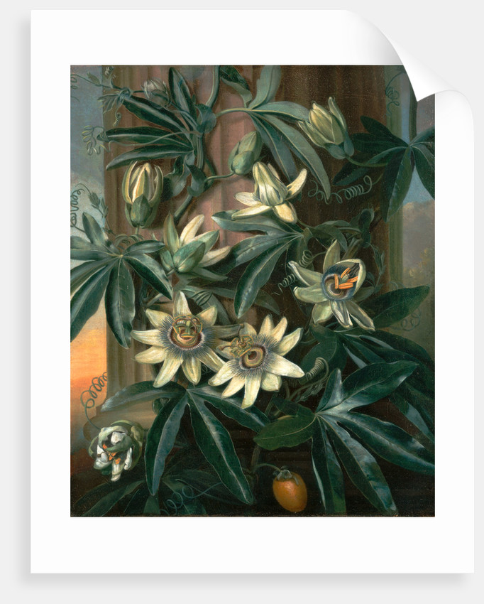 Blue Passion Flower, for the 'Temple of Flora' by Robert Thornton by Philip Reinagle