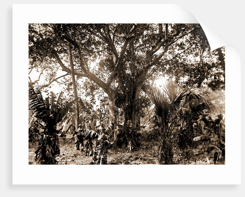 Rubber tree, Eden, Jackson, Rubber trees, Bays, United States, Florida,  Indian River, United States, Florida, Eden, 1880