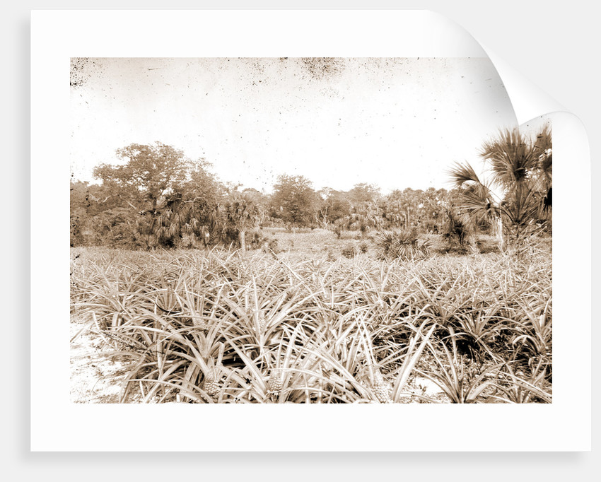 Pineapples at Eden, Jackson, Pineapples, Bays, United States, Florida, Indian River, United States, Florida, Eden, 1880 by William Henry