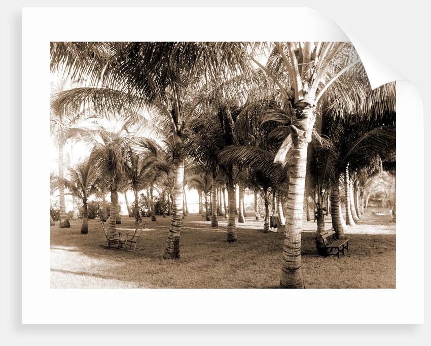 Cocoanut grove at McCormick's, Lake Worth, Fla, Jackson, McCormick's (Lake Worth, Fla.), Palms, United States, Florida, Lake Worth, 1880 by William Henry