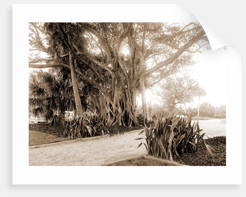 Cragin's rubber tree, Jackson, Rubber trees, United States, Florida, Lake Worth, 1880 by William Henry