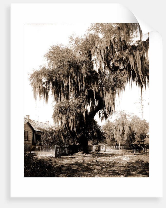 Live oak near Seville, Fla, Jackson, Trees, United States, Florida, Seville, 1880 by William Henry