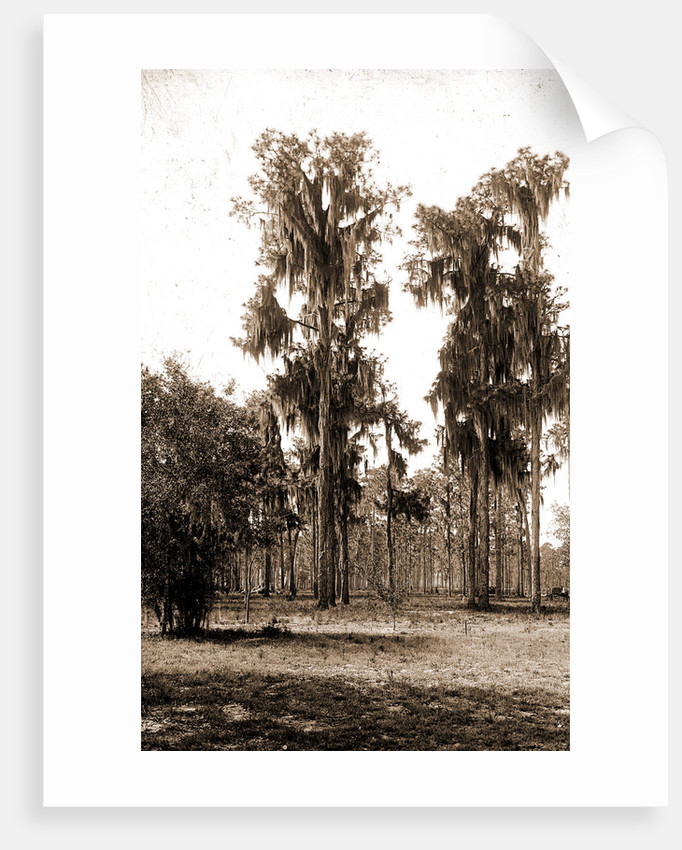 Florida pines, Jackson, Pines, Spanish moss, United States, Florida, 1880 by William Henry