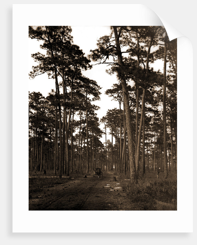 In the pine woods, Florida by Anonymous