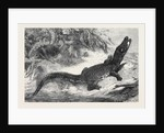 Alligator from Sumatra for the Brighton Aquarium 1873 by Anonymous