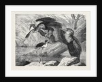 The Darter and Stilt Plover in the Zoological Society's Gardens London 1873 by Anonymous