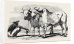 Guzerat Oxen from a Drawing by W. Carpenter Jun. by Anonymous