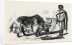 The Yak or Thibet Ox from a Drawing by W. Carpenter Jun. by Anonymous