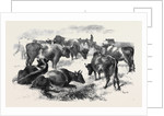 Breton Cattle. by Anonymous
