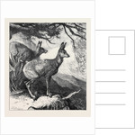 The Musk Deer at the Zoological Society's Gardens 1869 by Anonymous
