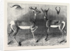 Antelopes from Soudan in the Gardens of the Zoological Society London UK by Anonymous