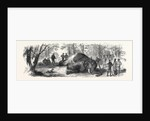 Measuring the Elephant Killed by the Duke of Edinburgh 1867 by Anonymous