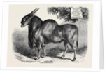 The Eland at the Smithfield Club Cattle Show 1867 by Anonymous