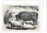Prize Cattle and Sheep at the Smithfield Club Show 1871 by Anonymous