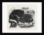 The Ursine Dasyure or Tasmanian Devil (Dasyurus Ursinus) by Anonymous
