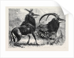 Sable Antelope from Southern Africa Recently Added to the Zoological Society's Gardens Regent's Park by Anonymous