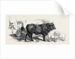 Pair of Oxen from the Royal Domain of the Val Di Chiana by Anonymous