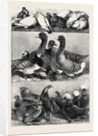 Prize Poultry and Pigeons at the Birmingham Exhibition by Anonymous