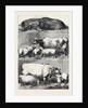 Prize Cattle at the Smithfield Club Cattle Show by Anonymous